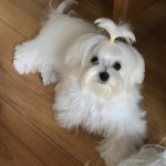 Total Grooming Guide For Your Maltese Dog The Maltese Club