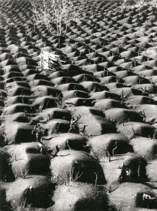 Fulvio Roiter Coltivazione vite, Etna, 1953 ©Archivio Storico Circolo Fotografico La Gondola Venezia