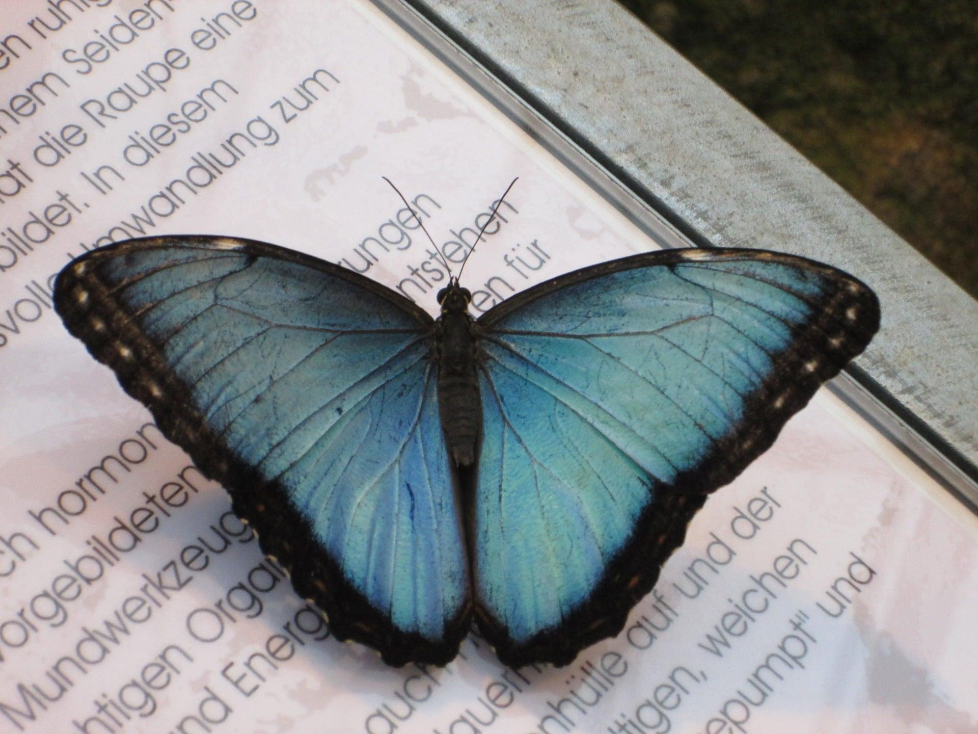 Blue Morphofalter 947714 1920 The Manifest Station Lidia Butterfly