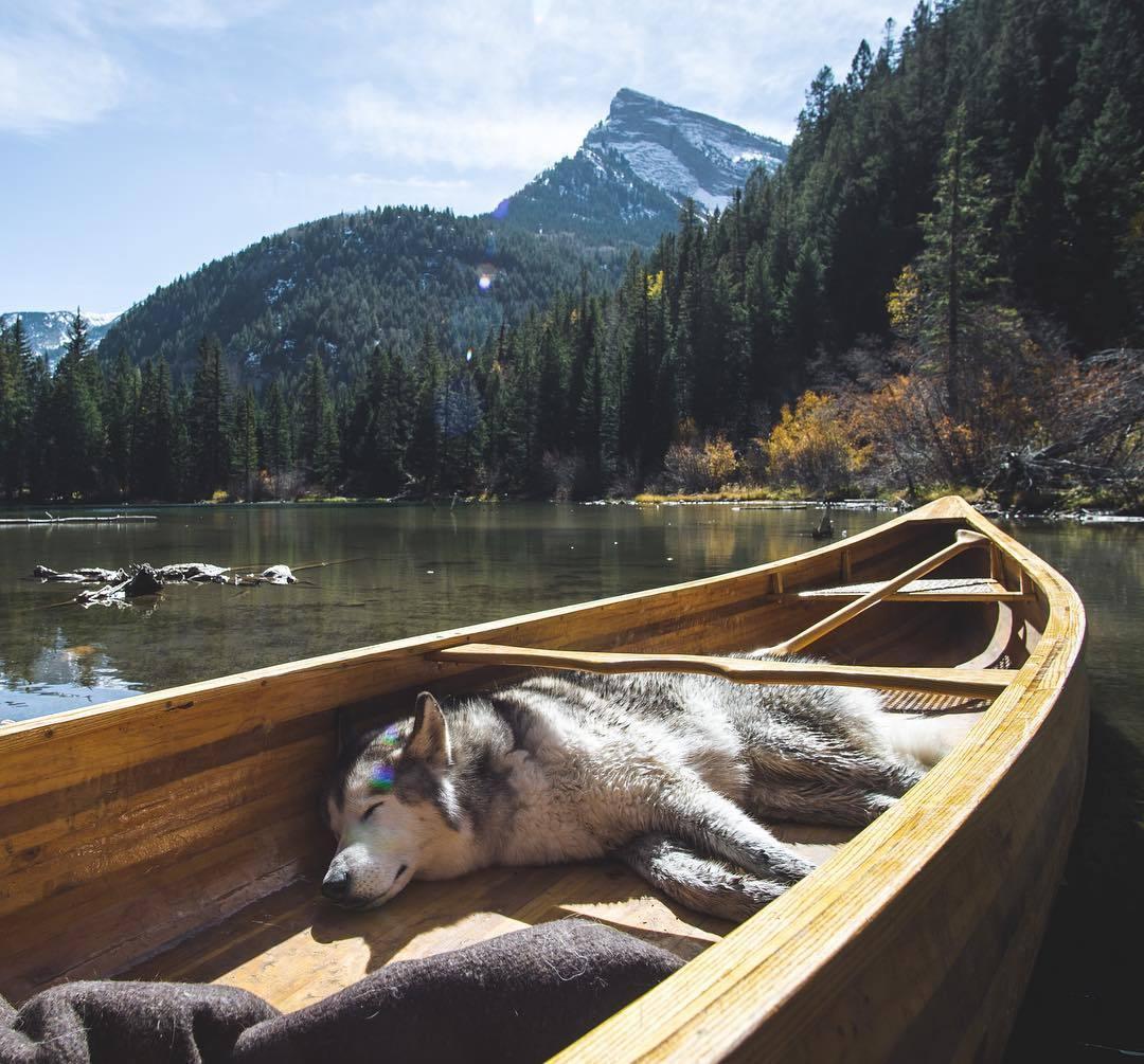 husky sleeping in boat