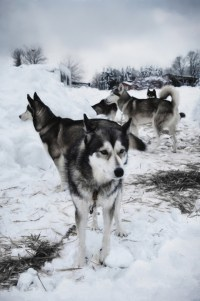 huskies ready to run