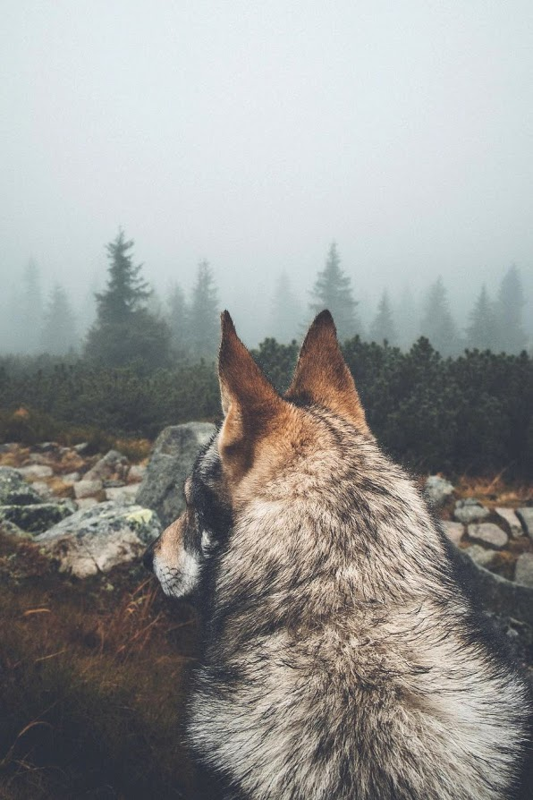 husky on the lookout