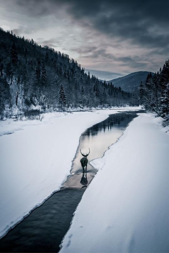 dear walking in snowy creek
