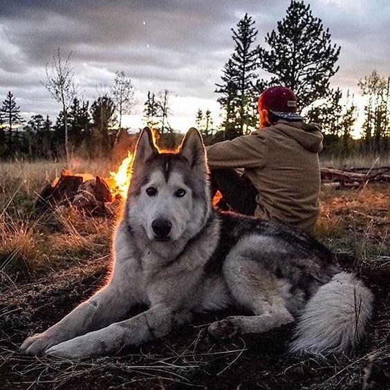 handsome husky
