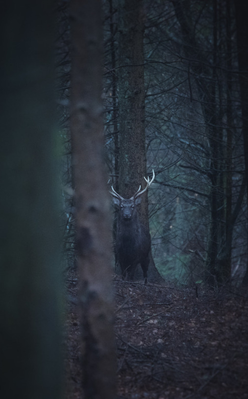 stoic deer in the woods