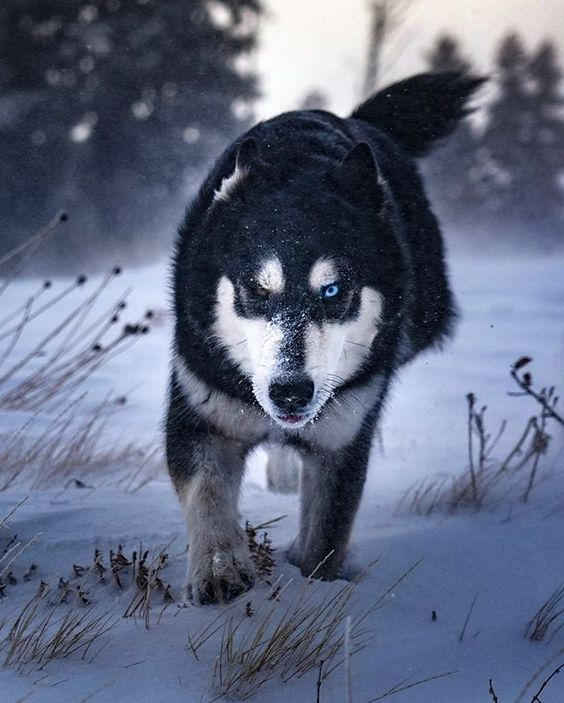 wolf with different color eyes