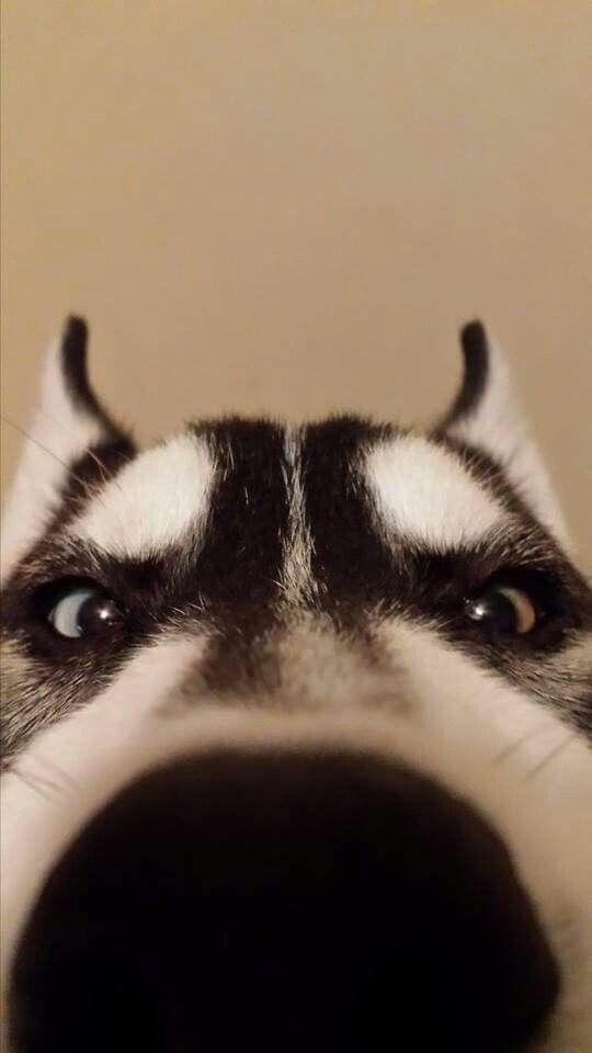 husky boop