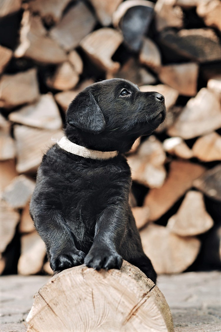 cute black lab pup