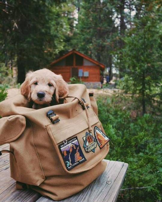 puppy in a backpack