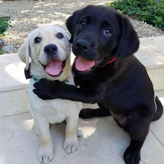 best friend labs