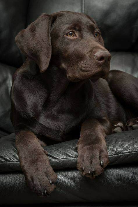 handsome chocolate lab manly dog