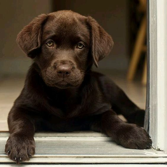 handsome chocolate lab