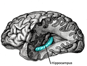 Gray739-emphasizing-hippocampus