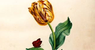 Broken Tulips: How a Virus Gave the World's Most Prized Flower Its Beauty