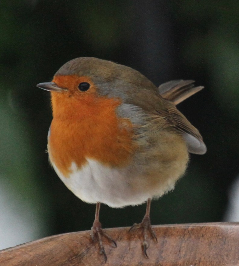 Our favourite robin