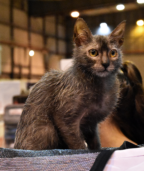 Your eyes aren't deceiving you - that really is a werewolf cat. Okay, so it only LOOKS like a werewolf, but still! Lykoi cats are one of the coolest cat breeds on the market. Learn more about them by tapping the picture.