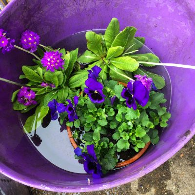 Soak plants in a bucket