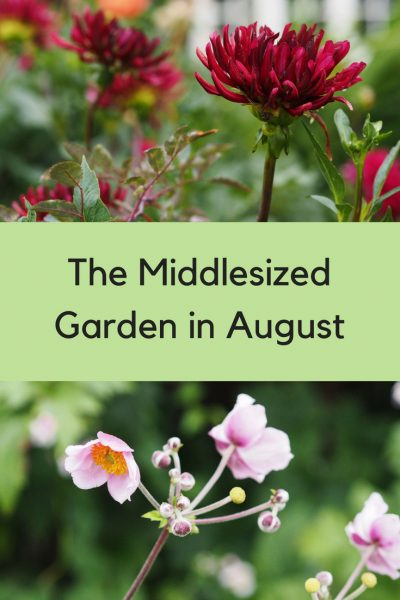 The Middlesized Garden in August - success, failures and tips #gardening #gardentips