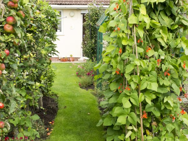 Fruit trees in the garden are as easy as growing beans