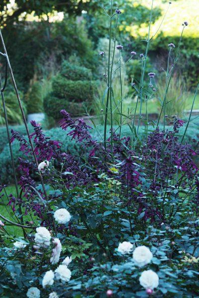 Salvia Love & Wishes in the September garden