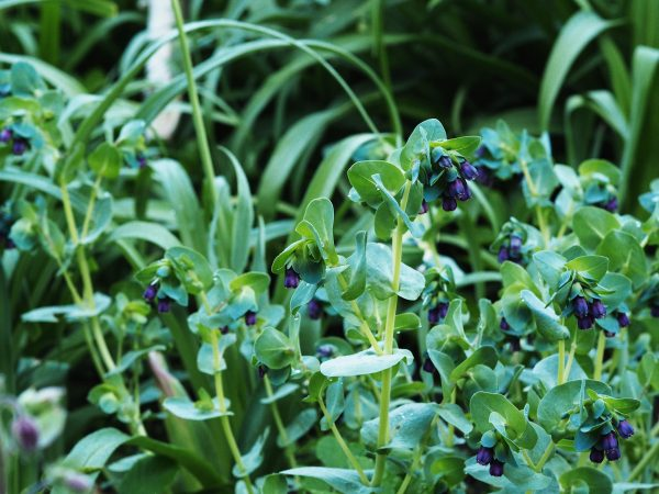 Cerinthe major 'Purpurascens' is an excellent self-seeder