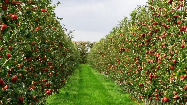 Cordon-grown apple orchards