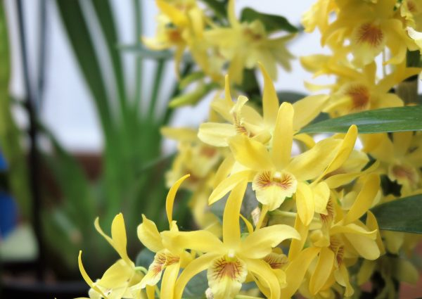 Dendrobium orchids need cool conditions in winter (8-10 degrees C)