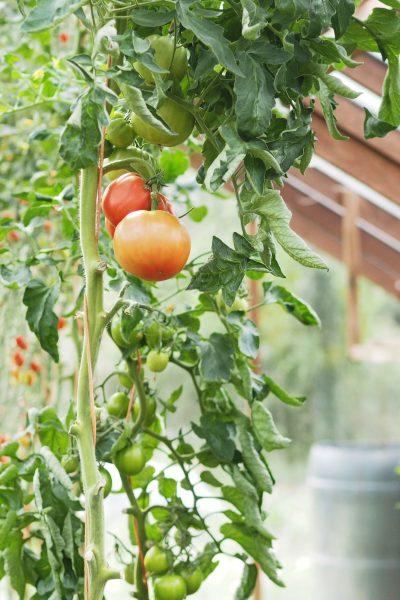 No dig tomatoes at Homeacres