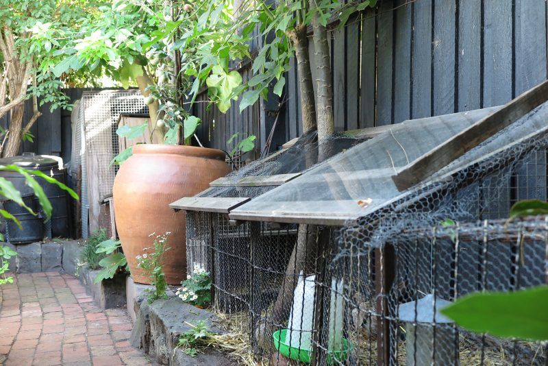 A small urban garden with quail and chickens