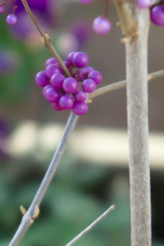 Callicarpa 'Profusion' for purple winter colour.