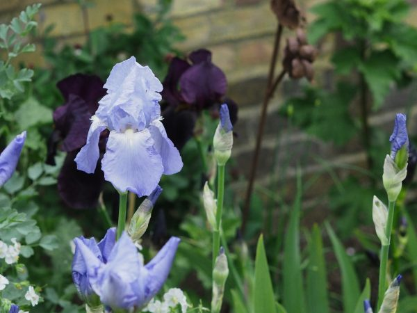 Irises are a good choice for a new garden.