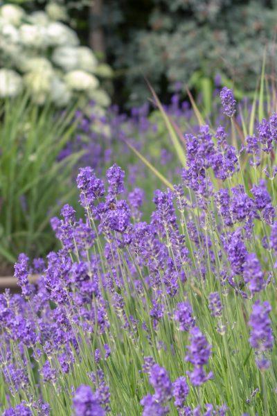 Lavender in the Middlesized Garden 2018