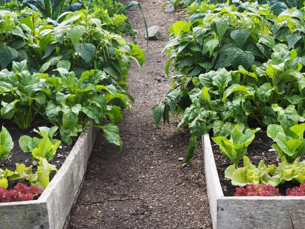No dig vs dig veg growing by Charles Dowding