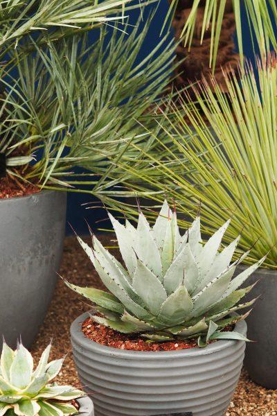Keep agaves in pots for a contemporary look