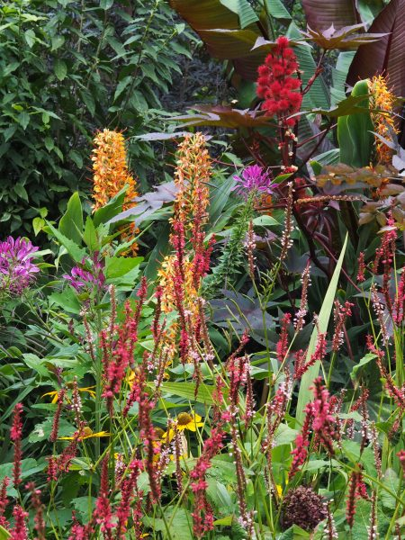 Exotic colours and shapes - persicaria at the Salutation