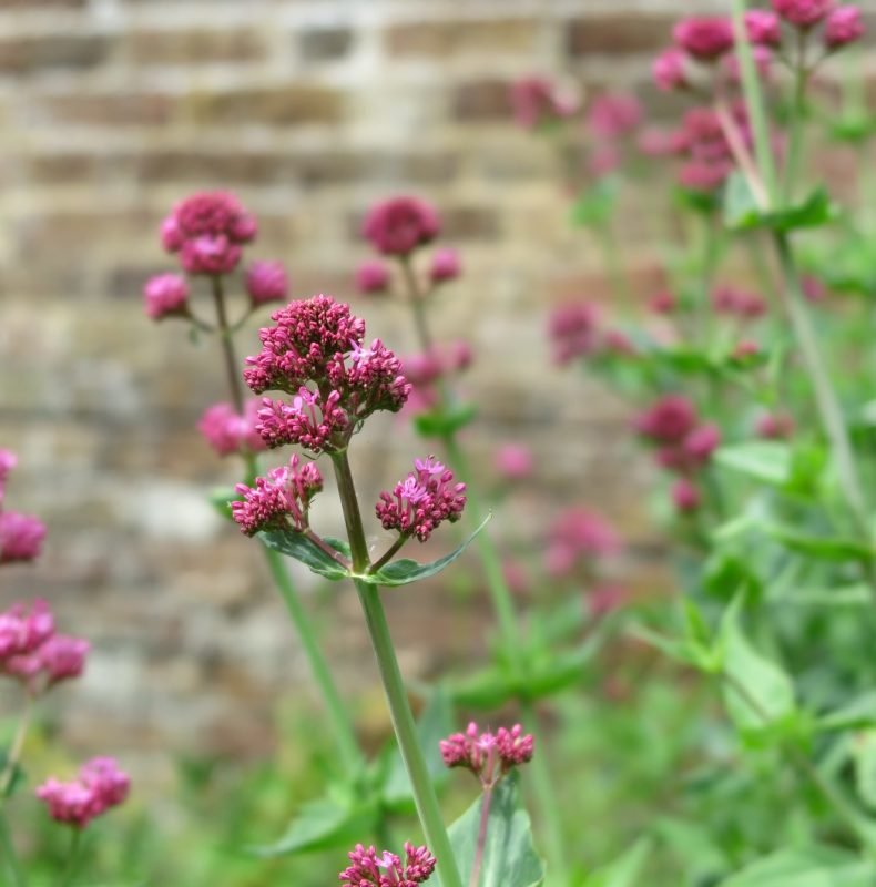 Valerian is a weed