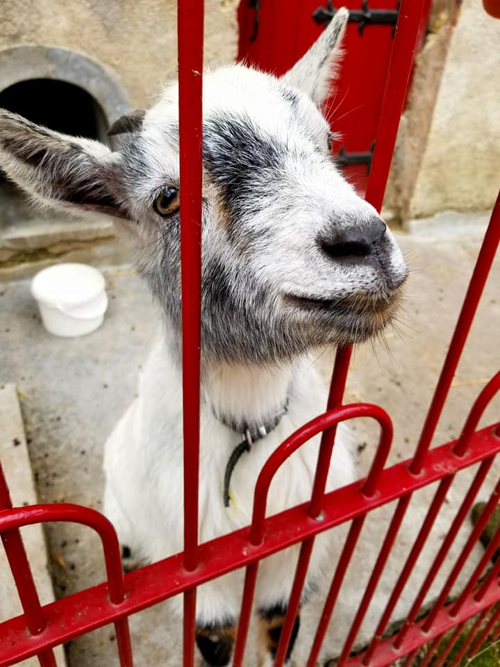 Goat in Amboise, France seen through a red iron gate.