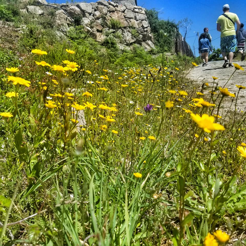 Yellow wildflowers along a hiking path in Peneda-Geres National Park