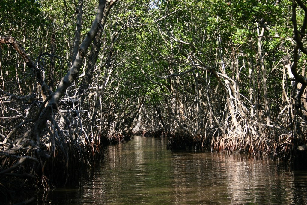 Florida mangroves in the everglades.