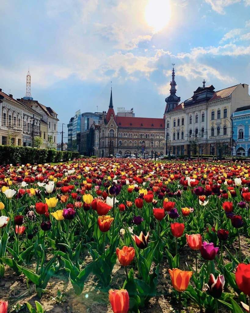 Colorful tulips filling Mihai Viteazu square in Cluj-Napoca, Romania with Cluj buildings lining the horizon in the background.
