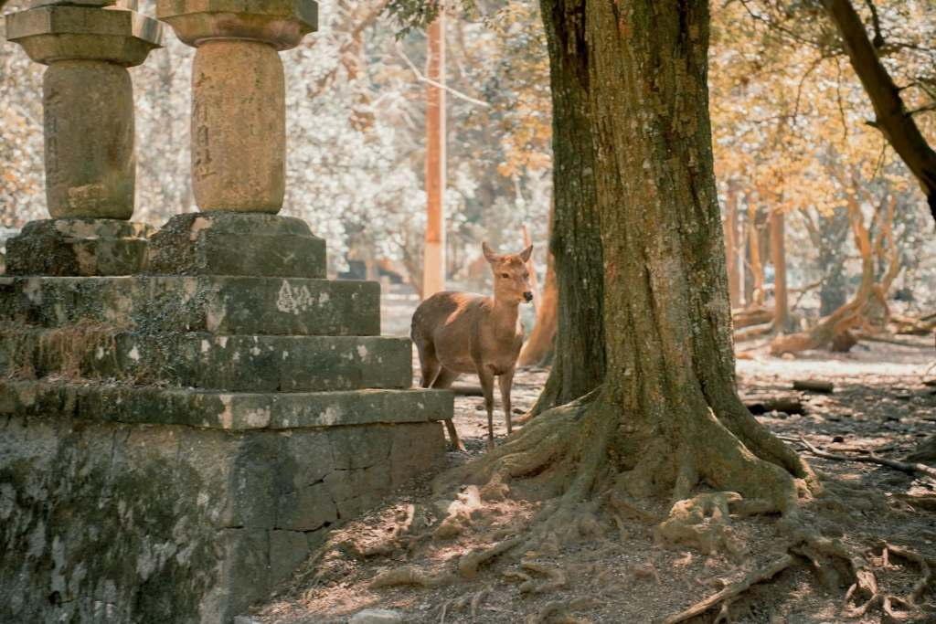 Deer roaming around the ancient Japanese capital of Nara, a unique virtual tour of Asia to take.