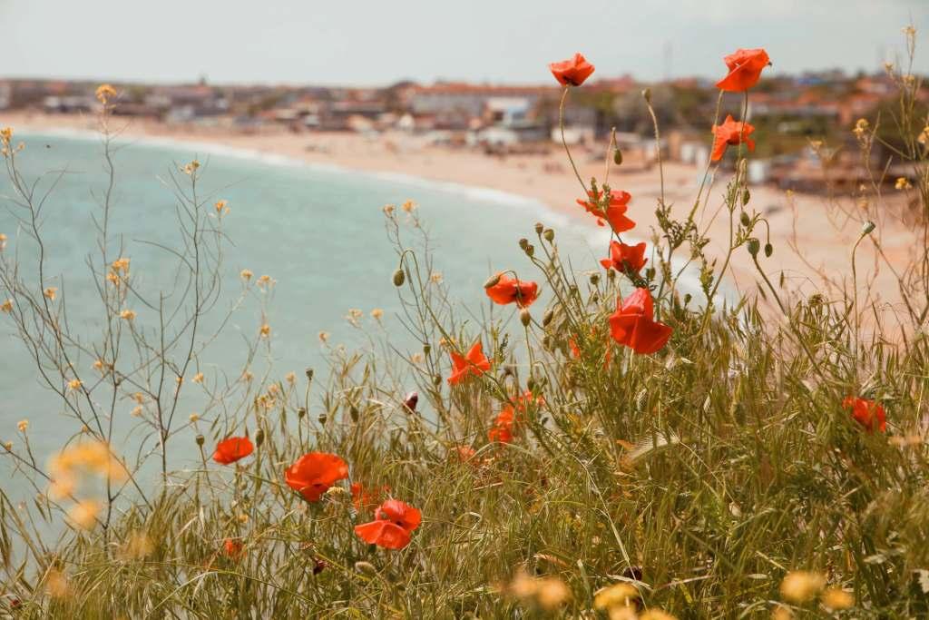 Poppies in Vama Veche, Romania next to the Black Sea.