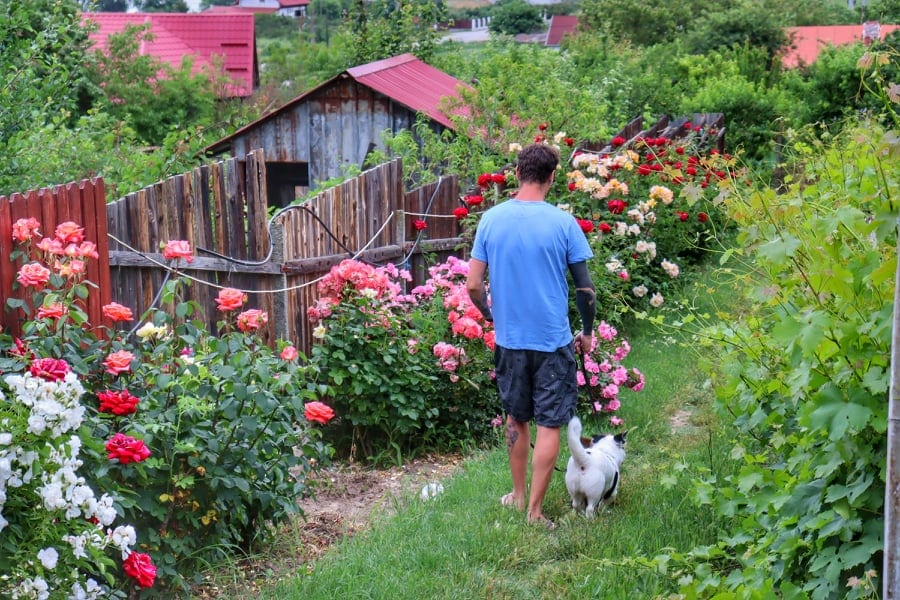Man walking through a rose garden on a farm with two small dogs