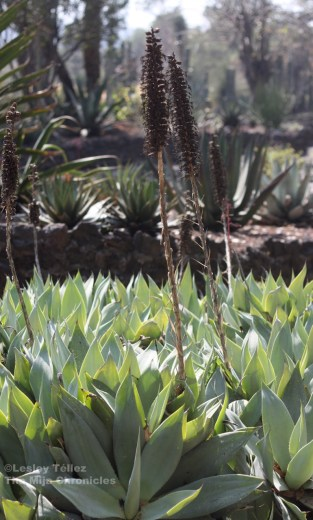 Blooming maguey