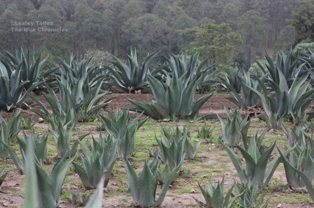 A field of maguey in Nanacamilpa, Tlaxcala.