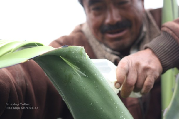 Don Miguel peels back the outer skin of the maguey leaf, known as the mixiote.