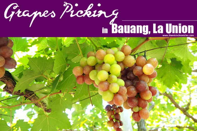 grape picking in la union