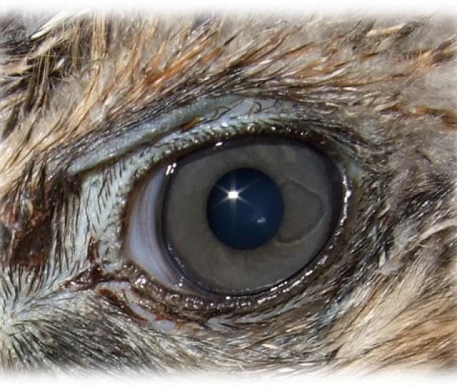 Raptor Eye Image