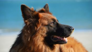All You Want to Know About Large Breed Nutritional Requirement - The