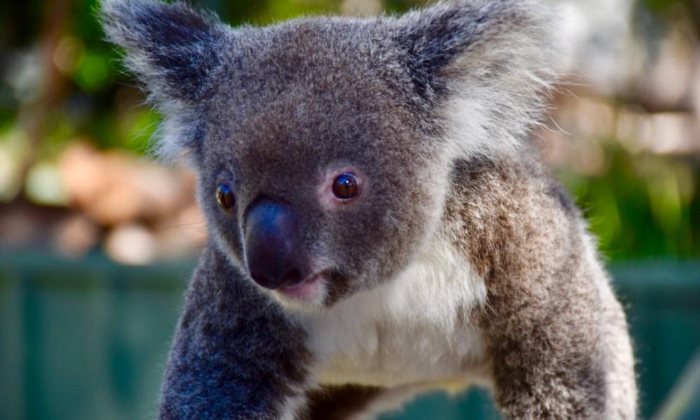 Australia's Hunter Valley: Wine, Wallabies & A Koala Named Kamballa